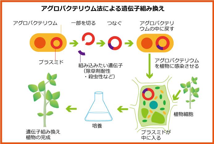 アグロバクテリウム法-2