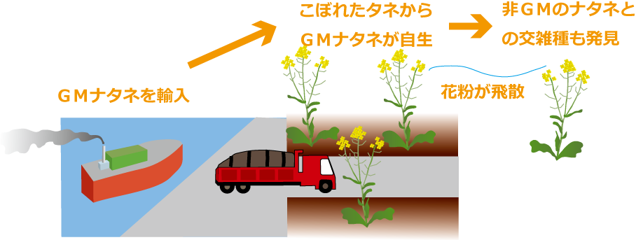 自生GMナタネと交雑種
