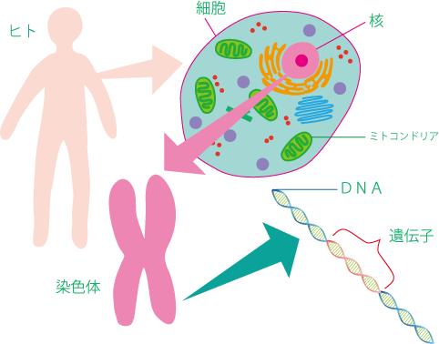 細胞、染色体、DNA