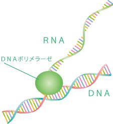 DNAからRNAをつくる
